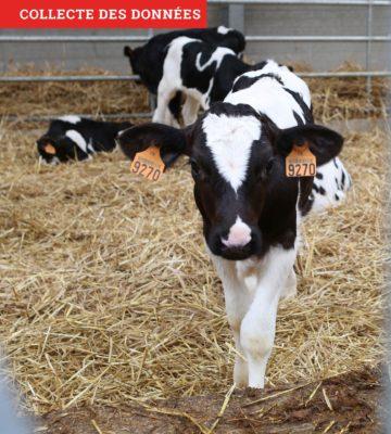Pesée des génisses laitières