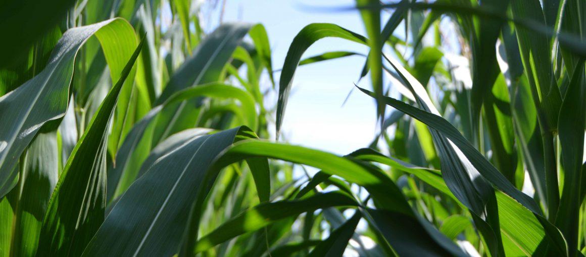 Maïs ensilage : les dates de mesures MS
