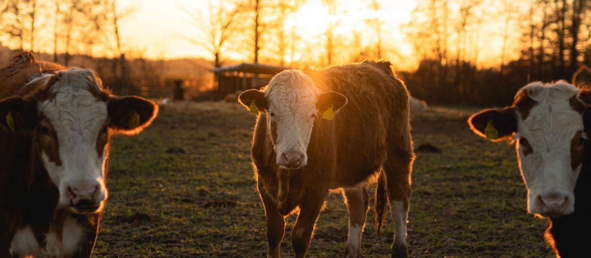 Le projet lait bas carbone s'étend