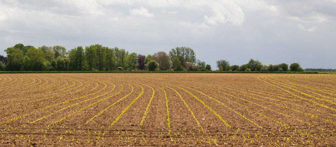 Maïs 2021 : une levée tout en fraîcheur !