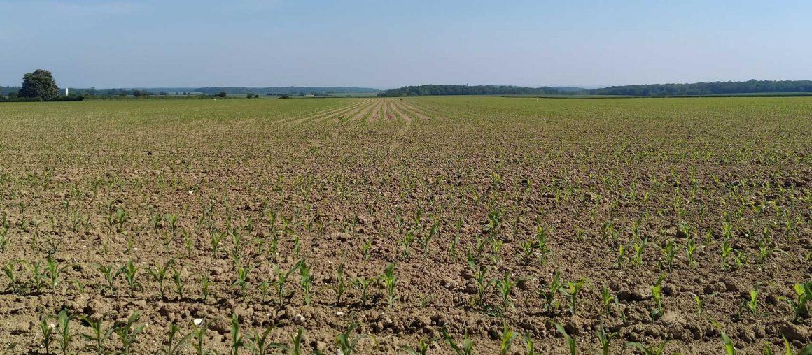 Maïs 2021 : Le désherbage des parcelles suivies