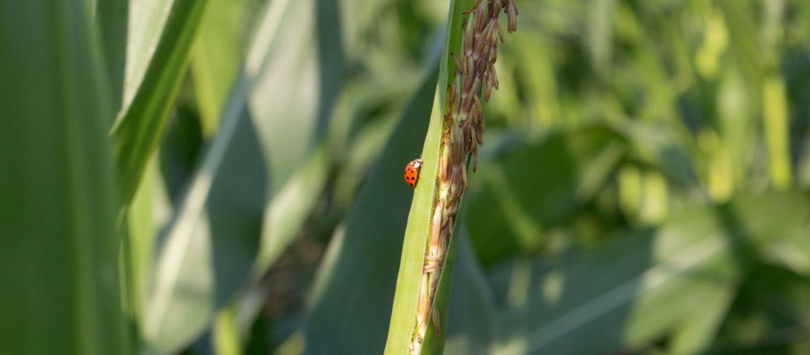 Maïs 2021 : Floraison imminente !
